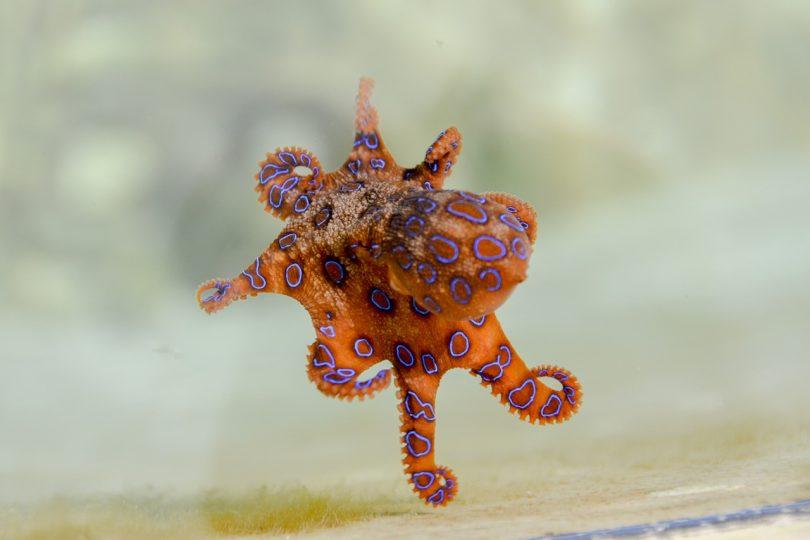 pieuvre poulpe bleu