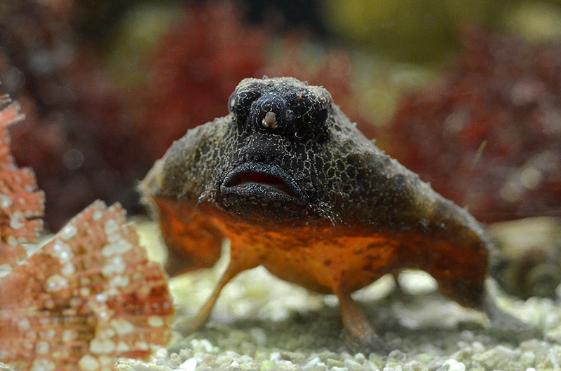 poisson chauve souris